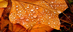 AUTUMN RAIN (chris .p) Tags: worcestershire leaf nikon d610 colour water autumn 2018 october closeup uk england bodenham arboretum