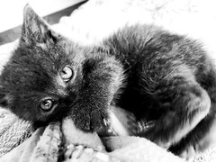 Kitten (MassiveKontent) Tags: bw urban cat kitten babies cute cats pet animals indoor chaton chat feline blancoynegro noiretblanc blackwhite animal
