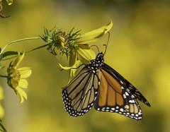 MonarchButterfly_SAF7533 (sara97) Tags: danausplexippus butterfly copyright©2018saraannefinke endangered insect missouri monarch monarchbutterfly nature photobysaraannefinke pollinator saintlouis
