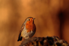 Robin Red-breast (microwyred) Tags: forestwoods beak nature birds colorimage beautyinnature oneanimal animal small birdwatching feather branch tree red brown bird outdoors closeup animalsinthewild wildlife abstracts perching robin