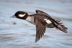 High Speed Little Duck (tresed47) Tags: 2019 201902feb 20190205indianriverbirds birds bufflehead canon7dmkii content delaware ducks folder indianriverinlet peterscamera petersphotos places season takenby us winter