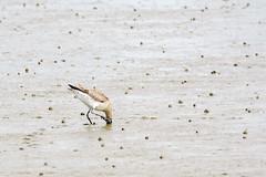 godwit-2 (Alex Ignatov) Tags: auckland newzealand bird birdwatching godwit nature wildlife aucklandregion nz