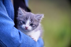 DSC09200  Angenieux 125 (barryleung28) Tags: kitten 子猫 小猫 고양이 새끼 chaton котенок gatito kätzchen ลูกแมว con mèo gattino adorable cute 可愛い 可愛い猫 可愛 carina mignonne mignonnerie 귀엽다 น่ารัก niedlich cat