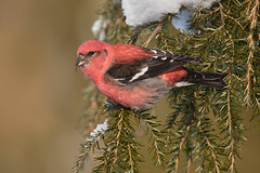 White-winged Crossbill (www.studebakerstudio.com) Tags: whitewinged crossbill whitewingedcrossbill bird nature wildlife studebaker winter loxia leucoptera loxialeucoptera