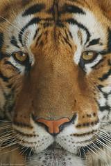 Suberian Tiger (ZiZLoSs) Tags: tiger suberian zoom zizloss kuwait zoo abdulaziz almanie
