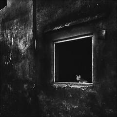 F_MG_4103-2-BW-1-Canon 6DII-Tamron 28-300mm-May Lee 廖藹淳 (May-margy) Tags: maymargy bw 黑白 貓 廢墟 窗戶 牆壁 幾何構圖 點貓 街拍 線條造型與光影 天馬行空鏡頭的異想世界 心象意象與影像 台灣攝影師 基隆市 台灣 中華民國 fmg41032bw1 ruin cat black window wall streetviewphotography humaningeometry taiwanphotographer mylensandmyimagination naturalcoincidencethrumylens keelungcity taiwan repofchina canon6dii tamron28300mm maylee廖藹淳 動物 寵物 animal pet