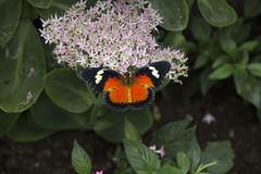 Schmetterling, bisher leider ohne Namen, an einer Nektarquelle - Butterfly (unfortunately without name) on a nectar source (heinrich.hehl) Tags: natur fauna schmetterling blumen blüte