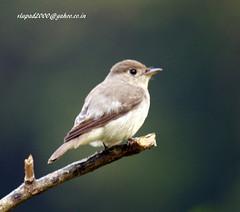 IMG_1989 Asian Brown Flycatcher (Muscicapa dauurica) (vlupadya) Tags: greatnature animal bird aves fauna indianbirds asian brown flycatcher muscicapa kundapura karnataka