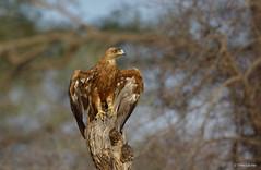 Tawny Eagle - Aquila rapax-5855 (Theo Locher) Tags: tawnyeagle vogels aquilarapax roofarend kruger krugernationalpark southafrica zuidafrika birds vögel oiseaux copyrighttheolocher aigleravisseur savannearend savannenadler