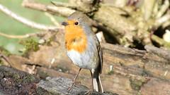 Robin (Deanne Wildsmith) Tags: staffordshire bird wolseleynaturecentre earthnaturelife robin