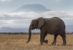 _A130125 (BergsPix) Tags: elephants africa kenya safari amboseli masaai mara samburu tusks mammals
