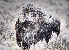 Bull bison near Jackson, WY. (wesrowntree) Tags: jacksonhole jackson bison