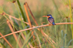 Beautiful (Thomas Retterath) Tags: thomasretterath 2018 nopeople safari natur nature africa afrika botswana wildlife fluss river chobe malachitekingfisher haubenzwergfischer eisvogel vögel bird birds vogel animals tiere alcedocristata