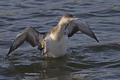 Red-throated Diver (JaneTurner68) Tags: redthroateddiver diver loon bird altonwater reservoir suffolk canon1dmkiv canon600mmf4lens canon