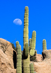 Saguaro Moon (Buck--Fever) Tags: arizona arizonaskies arizonadesert arizonawonders moon saguaros saguaro saguarocactus telephotolenscompression telephoto landscape canon60d tamron18400lens bluesky blue centralarizona nature earthnaturelife