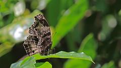Western Blue Beauty - Protogoniomorpha cytora (jaytee27) Tags: ghana westernbluebeauty protogoniomorphacytora naturethroughthelens