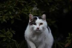 street cat (chocoogirl) Tags: cat 7r3 7riii 90mmmacro