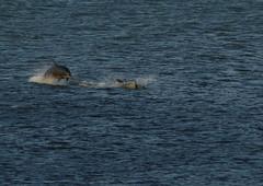 IMG_5429 (monika.carrie) Tags: monikacarrie wildlife scotland aberdeen dolphins dolphin cetacean mammals