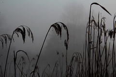 Reed and Fog