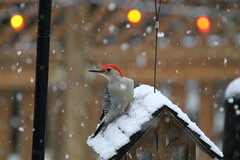 Red Bellied Woodpecker (karma (Karen)) Tags: baltimore maryland home backyard birds woodpeckers dof bokeh hbw hww topf25