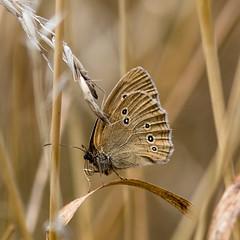 Schornsteinfeger (Brauner Waldvogel) (rooibusch) Tags: brandenburg germany sacrow tagfalter schmetterling