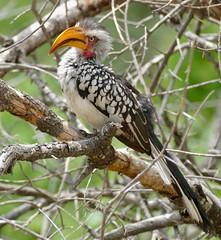 Southern Yellow-billed Hornbill (Tockus leucomelas) (berniedup) Tags: skukuza kruger southernyellowbilledhornbill tockusleucomelas yellowbilledhornbill taxonomy:binomial=tockusleucomelas bird hornbill