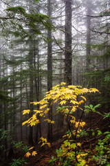 Isolated Warmth (Joshua Johnston Photography) Tags: autumn fall joshuajohnston sonya7iii trees forest nature pacificnorthwest pnw oregon mthoodnationalforest