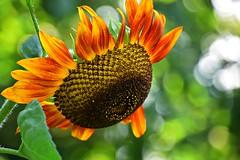 summer moods (JoannaRB2009) Tags: summer mood sunflower garden nature flower green orange yellow bokeh