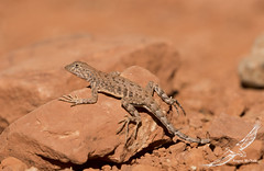 Greater Earless Lizard (Cophosaurus texanus) (Gus McNab) Tags: greaterearlesslizard cophosaurustexanus