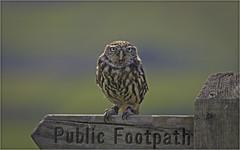 Do I have to walk? (Charles Connor) Tags: littleowl owls raptors birdsofprey beautifuleyes eyes featherdetail detail birds birdphotography naturephotography nature backgroundblur canondslr