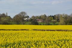 Rapeseed Fields in Shropshire (Seventh Heaven Photography - (Flora)) Tags: rapeseed rape carpet fields shropshire nikon d3200 trees buildings houses sky hedge