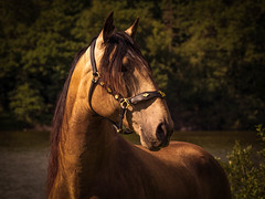 DSC09040-Edit-2.jpg (Freddy Juhl) Tags: equine animal animals art background beautiful beauty big black blue brown close closeup color courage cute domestic dust equestrian eye face farm ferocious field fineart fun green hair happy head horse horses lifestyle light mammal mane natural nature one outdoor outside people portrait portraits power purebred race red sky stallion stallions summer texture white wild young