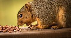 PEANUTS!!!!!!! (Ronda Hamm) Tags: 100400mkii canon7dii indiana animal backyard feeding mammal nature squirrel