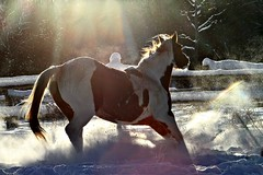 ~Beam Me Up❣️~ (cowgirlrightup) Tags: lily sunflare snowsparkle cowgirlrightup 200mm canon7d snow horse powder