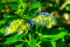 DMT_20180915073124 (Felicia Foto) Tags: allrightsreserved denisetschida hydrangea backyard middletennessee williamsoncountytennessee outdoors latesummer sunny flora flowers bloom blooming 3xp hdr highdynamicrange green yellow purple geotagged