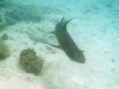 White-tipped Reef Shark (Anita363) Tags: whitetippedreefshark reefshark shark triaenodonobesus triaenodon carcharhinidae carcharhiniformes chondrichthyes fish fauna film snorkeling sombrerochino chinahatisland island islasantiago santiago galápagos galapagos ecuador