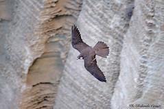 Falco della regina _008 (Rolando CRINITI) Tags: falcodellaregina uccelli uccello birds ornitologia avifauna rapaci carloforte sardegna natura