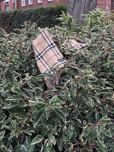 Burberry bush