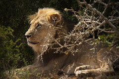 Resting in the Shade (Stefan Zwi.) Tags: löwe lion addo südafrika southafrica