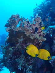 Egypte - Port Ghalib - Siva Beach (gil35les) Tags: plongée mer rouge egypte égypte marsa alam poisson ange citron jaune chaetodon semilarvatus port ghalib siva beach corail récif