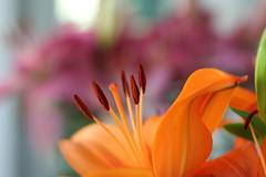 Needing colour... (MomOfJasAndTam) Tags: lily colour color orange ihatewinter ilovespring flower flora plant stamen lilium