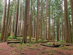 Trees in the forest (walneylad) Tags: princesspark northvancouver britishcolumbia canada park parkland urbanpark woods woodland forest rainforest urbanforest trail path trees rock moss ferns log stump january winter nature scenery view