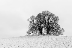 first snow of the coming winter (hjuengst) Tags: vogelberg ebersberg linden limetree blackandwhite schwarzweis winter winterbeauty november snow schnee riedhof absoluteblackandwhite singletree
