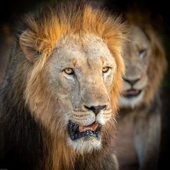 Brothers in arms (Wim Hoek) Tags: januari portrait zimangagamereserve mammals afrika landroofdieren leeuw 2019 mammalgroups africa carnivora january lion pantheraleo predator uphongolonu kwazulunatal southafrica za