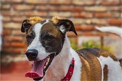 _LMV3105 (Lucio_Vecchio) Tags: delta nikond5500 nikon nikkor mascota retrato friend amigos perros animales naturaleza