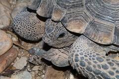 Desert Tortoise (Gohperus agassizii), San Pedro River Valley, N of Redington, Arizona (Lon&Queta) Tags: 2016 animals arizona deserttortoisegohperusagassizii flickr gps pimacounty reptiles sanpedrorivervalley turtles usa unitedstatesofamerica