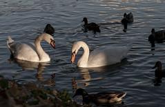 Swans (Lyutik966) Tags: bird plumage pond water reflection beak animal duck neck couple sergievposad russia natureinfocusgroup coth coth5