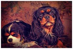 Melody (Pepenera) Tags: dog dogs cane cani cavalier cavalierkingcharlesspaniel portrait