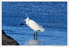 2019-03-13-40406--©-Gerard-MUSSOT (Gerard MUSSOT) Tags: deltedelebre oiseaux faune españa ebro reservenaturele