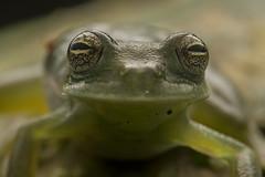 Glassfrog Eyes (antonsrkn) Tags: cochranellanola glassfrog amphibian herpetology herping frog centrolenid centrolenidae wildlife animal anuran nature peru manu peruvian green jungle tropical tropics